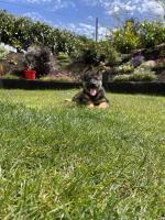 IKC German Shepherd pups for sale.