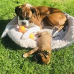 IKC Boxer Puppies for sale.