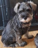 Miniature schnauzer puppies for sale.