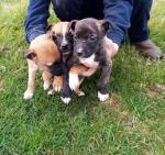 Male Staffordshire Bull Terrier cross for sale.