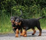 Beautiful Rottweiler puppies for sale.