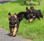 Beautiful German Shepherd Puppies for sale.