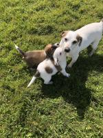 King Charles x Jack Russell for sale.