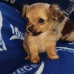 Teacup chihuahua for sale.