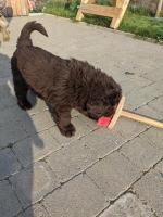 Purebreed Newfoundland puppies for sale.