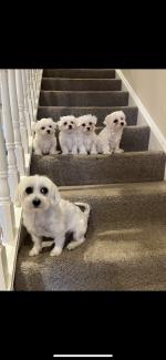 Purebred Maltese Puppies for sale.