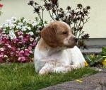 PURE BREED BRITTANY SPANIEL for sale.