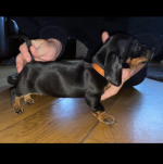 IKC registered smooth coat dachshund puppies for sale.