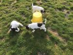 Springer spaniel registered pups(3 males left) for sale.