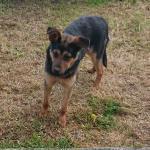 Max, German Shepard/Rottweiler for sale.