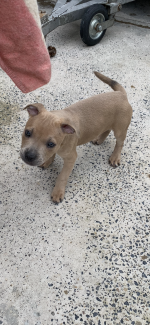 Staffordshire bull terrier pups blue [sold].