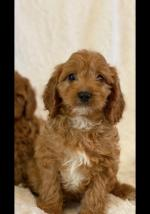 Curly Cockapoo puppies for sale.
