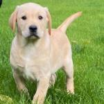 Female Golden Labrador in Leitrim for sale.
