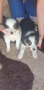 Collies for sale.