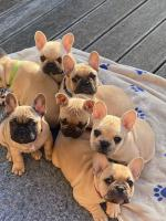 French bull dog for sale.