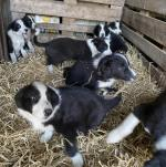 Sheepdog pups for sale.
