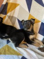 Beautiful German Shepard pups for sale.