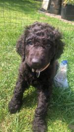 Irish Water Spaniel for sale.
