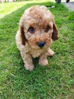 Miniature poodle for sale.