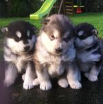Alaskan malamute puppies [sold].