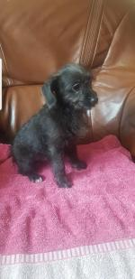 Chi-poo puppy's hypoallergenic non shed for sale.