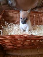 Miniature jack Russell puppy's for sale.