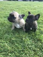 Stunning IKC French Bulldogs for sale.