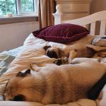 Frug - Pug x French bulldog for sale.