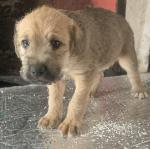 Wheaten puppies for sale.