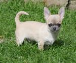 Male Chihuahua puppies for sale.
