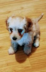 Poochon puppy for sale.