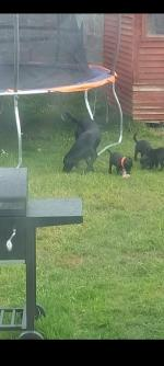 Beautiful Black Labrador pups for sale.