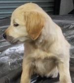 Golden retriever pups(1 male) left for sale.