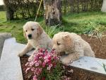 IKC Golden retriever puppies for sale.