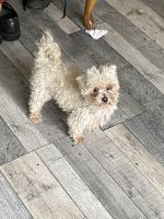 Cody the adult Maltese in Limerick for sale.