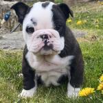 MALE Bulldog pups for sale.