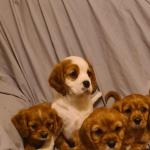 Cavalier King Charles puppies for sale.