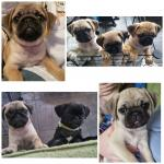 Pug Puppies in Kilkenny for sale.