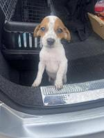 Male Jack Russell puppy for sale.