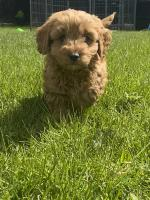 Cavapoos for sale.