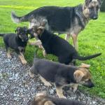 German Shepherd puppies in Cork for sale.
