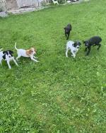Pointer X Gordon Setter pups in Kilkenny for sale.