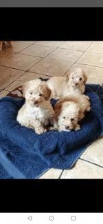 Minature Poodles for sale.