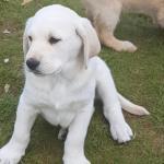 Labrador× goldendoodle for sale.