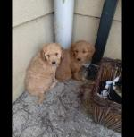 Beautiful cockapoo puppies for sale.