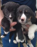 Beautiful Collie pups for sale.