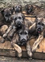 Irish Wolfhound Puppies for sale.