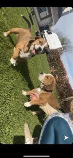 Bulldog/beagle for sale.