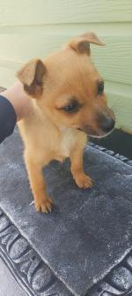 Pomeranian x chihuahua for sale.