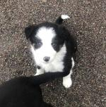 Border Collie for sale.
